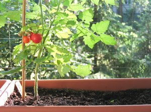 balcony tomatoes: It is a nice hobby to grow your own balcony tomatoes...