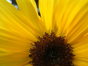 Sunflower: Part of the blossom of a sunflower