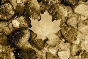 Vintage Maple Leaf 1