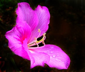 Pink Bauhinia: A beautiful pink bauhinia in closeup, with raindrops on its petals. The background has been vignetted.