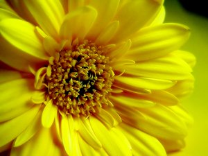 Yellow Gerbera Daisy: A closeup of a yellow double gerbera daisy with a soft effect.