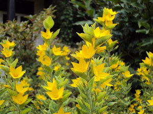 Free stock photos rgbstock free stock images summer flowers summer flowers loosestrife nature summer flowers summer garden yellow blossom yellow flowers mightylinksfo