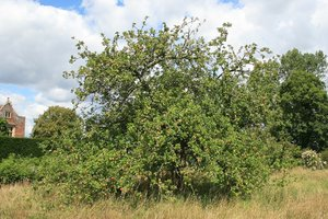 English apple tree