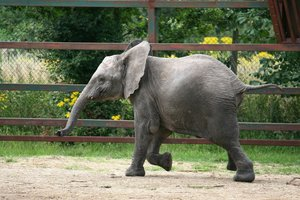 Young elephant running: A juvenile elephant running around in fun.
