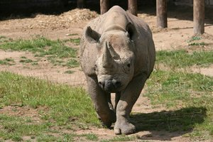 Black rhinoceros: A black rhinoceros (Diceros bicornis) in a zoo in England.