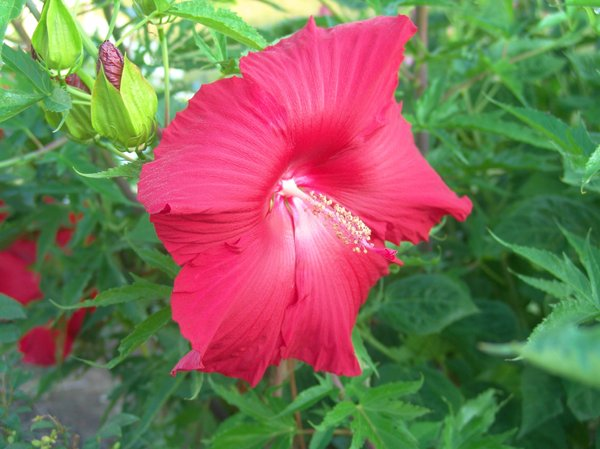 Red Hibiscus: Large Red Hibiscus very showy and the size of a dinner plate, a wonderful addition to a summer garden.