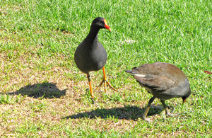moorhen: dusky moorhen grubbing in lakeside grassed area