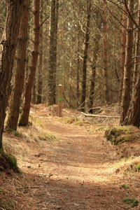 Forest path: A path in a pine forest