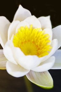 Lotus: lotus or water-lily closeup