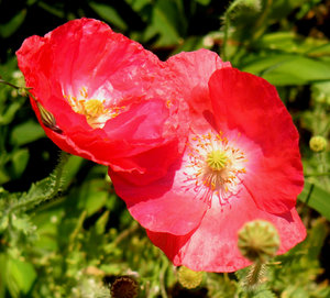 Poppy collection 5: Colorful poppies 