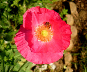 Poppy collection 1: Colorful poppies 