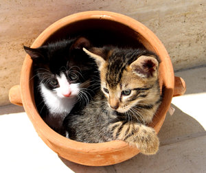 Kittens in a pot 1