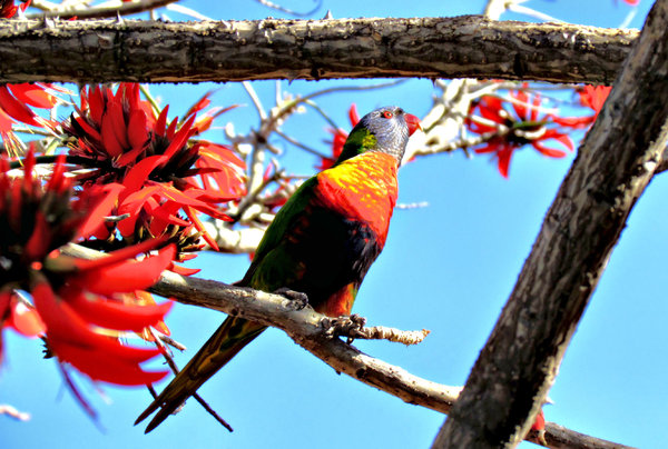 rainbow in the trees: Australian rainbow lorikeet in coral tree