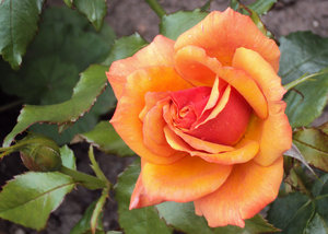 Golden Rose: Gold tints and textures of the summer flowers in my garden