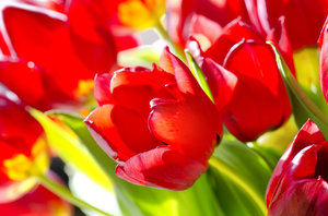 Red tulips in sunlight: red tulips
