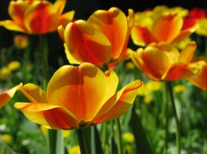 orange tulips: none