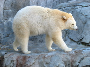 white bear: a white bear at assiniboine park zoo in winnipeg.
