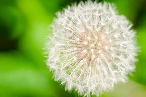 Dandelion blow flower: Dandelion ready to blow away the seeds