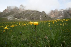 Mountain flowers: Globeflowers (Trollius europaeus) in the Dolomite mountains, Italy.