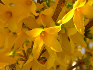 Forsythia: no description