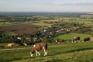 Cows wandering home: Cows on the South Downs, Sussex, England, wandering home in the evening.