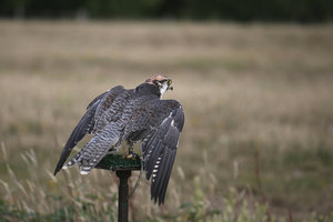 Lanner Falcon: A lanner falcon (Falco biarmicus) on a perching post.
