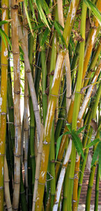 bamboo grove: a small grove of bamboo