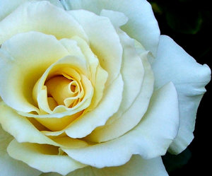 gold centred white rose: delicate gold centred white garden rose