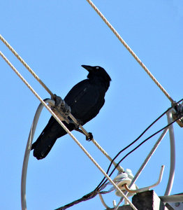 livewire crow: Australian raven perched on electrical power lines