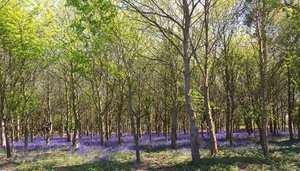 Bluebell woods: Bluebell woods