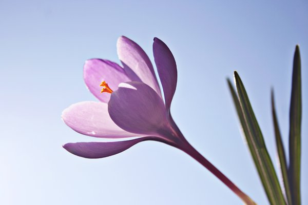 Crocus Flower: Crocus flowers against blue sky, sunlight enlights flower