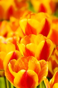 Tulips close-up: Tulips