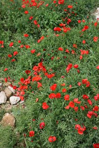 Wild poppies: Wild poppies (Papaver) growing in Andalucia, Spain.