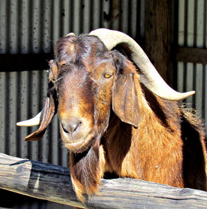 Billygoat gruff 1: brown domesticated male goat