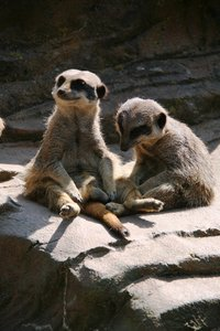 Meerkat: Meerkats at a zoo