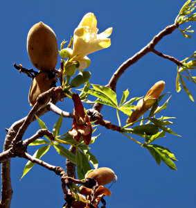 Boab bloom & nuts