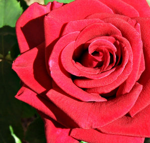 roses R red 1: close up of crimson red rose