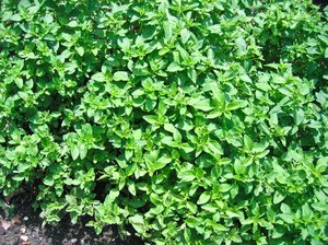 marjoram: marjoram