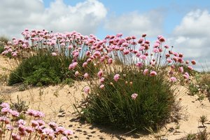 Thrift: Thrift (Armeria maritima) growing on sand dunes by the coast in Spain.