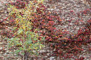 autumn wall colour2: wall covered in autumn coloured leaves