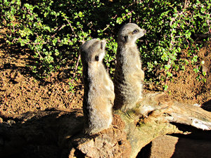 guard duty3: meerkats on lookout  guard duty