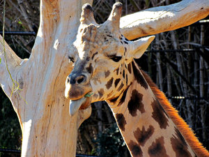 long mealtime2: giraffe eating