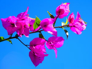 Pink Bougainvillea: A branch of pink bougainvillea contrasted against the sky. Beautiful colours.