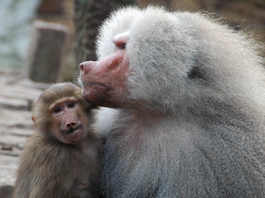 Two monkeys: Two monkeys spotted in Dierenpark Amersfoort Netherlands