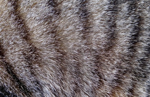 fine feline fur: short hair fur of tabby cat