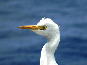 Pensive Egret: Egret possibly considering his choices after landing on board our vessel, 600 miles from any land mass. Equator, south  of Sri Lanka, Indian Ocean