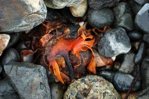 detritus 4: seaweed washed up ashore amongst rocks & pebbles of a Cornish coast...