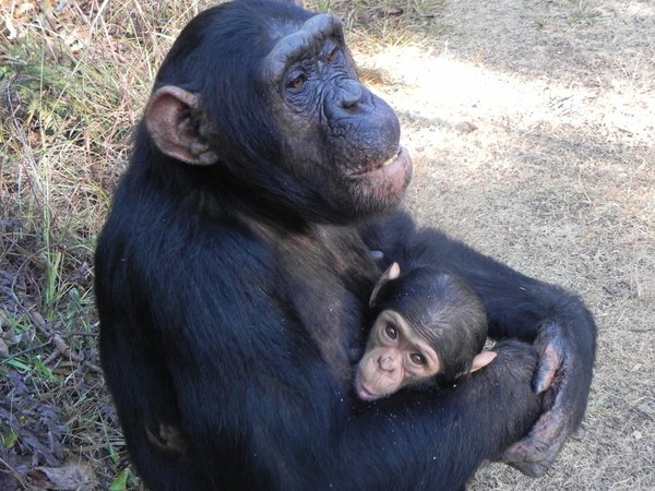 chimpanzees in zambia: none