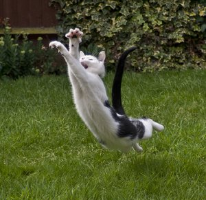 Cat in Flight: Cat trying to catch a bee