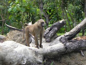 one monkey: photo taken in Ghana